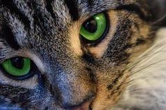 Groene eyed gestreepte kat Stock Fotografie