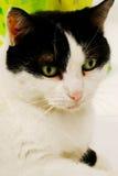 Groene eyed kat Stock Afbeeldingen