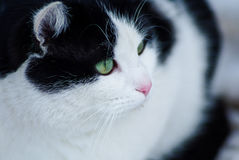Groene Eyed Kat Stock Foto