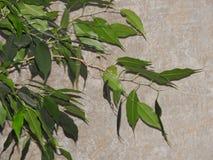 Groene Ficusbladen tegen de achtergrond van de muur in de schaduw stock afbeeldingen