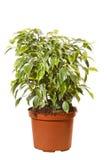 Groene ficussenboom Stock Afbeelding