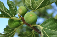 Groene fig. Royalty-vrije Stock Foto's