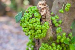Groene Fig Royalty-vrije Stock Fotografie