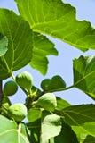 Groene fig. en bladeren. Royalty-vrije Stock Afbeelding