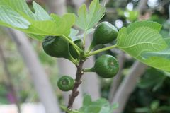 Groene fig. en bladeren op een boomtak stock foto's
