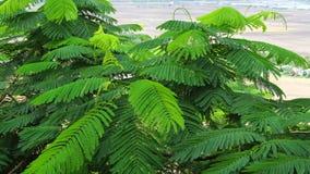 Groene flamboyant boom stock videobeelden
