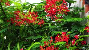 Groene flamboyant boom en bloemen stock video