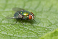 Groene flessenvlieg Royalty-vrije Stock Foto