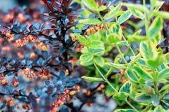 Groene fortunei van struikeuonymus en de struikberberis van Bourgondië Royalty-vrije Stock Afbeeldingen