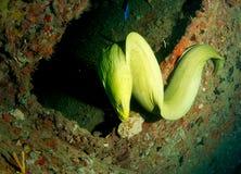 Groene funebris van Moray paling-Gymnothorax Royalty-vrije Stock Foto's