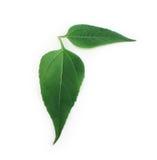 Groene geïsoleerde bladeren Royalty-vrije Stock Afbeeldingen