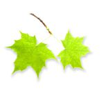 Groene geïsoleerde bladeren royalty-vrije stock fotografie