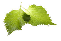 Groene Geïsoleerde Bladeren Perilla royalty-vrije stock afbeelding