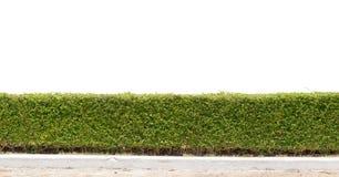 Groene geïsoleerde haag Stock Foto
