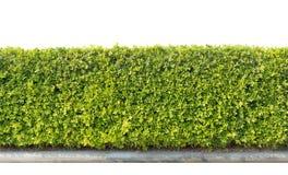 Groene geïsoleerde haag Stock Afbeelding