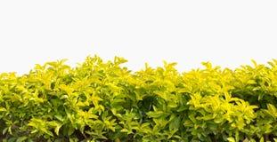 Groene geïsoleerde haag of groene struik Royalty-vrije Stock Foto