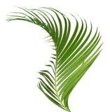 Groene geïsoleerde kokosnotenbladeren De groei, close-up stock afbeelding