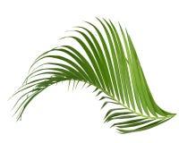 Groene geïsoleerde kokosnotenbladeren De groei, close-up stock fotografie