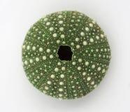 Groene geïsoleerde Zeeëgel, Royalty-vrije Stock Afbeeldingen