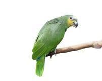 Groene geïsoleerdee papegaai, Stock Foto