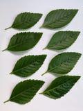 Groene geïsoleerdet bladeren Royalty-vrije Stock Afbeelding