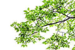 Groene geïsoleerdet bladeren Royalty-vrije Stock Fotografie