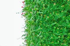 Groene geïsoleerdet bladeren Stock Fotografie