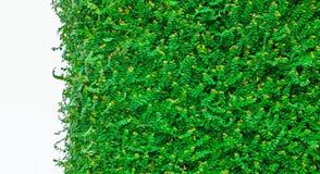 Groene geïsoleerdet bladeren Royalty-vrije Stock Foto