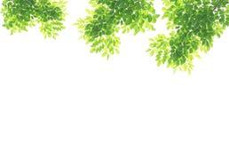 Groene geïsoleerdet bladeren Stock Foto