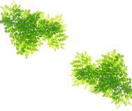 Groene geïsoleerdet bladeren Stock Afbeeldingen