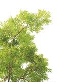 Groene geïsoleerdet bladeren Stock Foto's