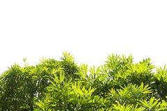 Groene geïsoleerdet bladeren Royalty-vrije Stock Afbeeldingen