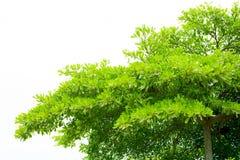 Groene geïsoleerdet bladeren Terminaliabladeren Stock Fotografie