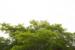 Groene geïsoleerdet bladeren Terminaliabladeren Royalty-vrije Stock Afbeeldingen