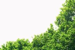 Groene geïsoleerdet bladeren Uitstekende kleur Royalty-vrije Stock Foto