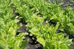 Groene geïsoleerdet salade Royalty-vrije Stock Afbeeldingen