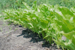Groene geïsoleerdet salade Stock Foto's