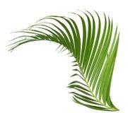 Groene ge?soleerde kokosnotenbladeren De groei, close-up stock foto