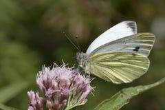 Groene geaderde vlinder stock fotografie