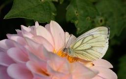Groene geaderde witte vlinder Stock Foto's