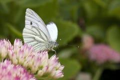 Groene geaderde witte vlinder Stock Afbeelding
