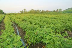 Groene gebieden van aubergine royalty-vrije stock afbeelding