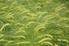 Groene gebieden van gerst Stock Foto