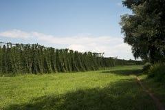 Groene gebieden van hop Royalty-vrije Stock Foto