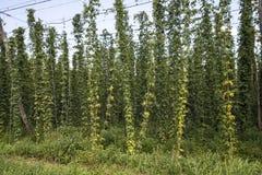 Groene gebieden van hop Royalty-vrije Stock Afbeelding
