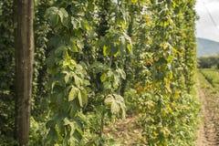Groene gebieden van hop Stock Afbeeldingen