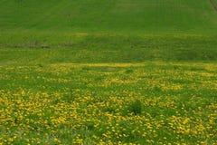 Groene gebieds gele bloemen stock fotografie