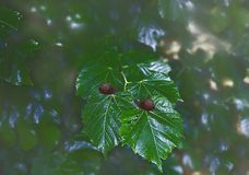 Groene gebladertelinde met slakken Royalty-vrije Stock Afbeeldingen