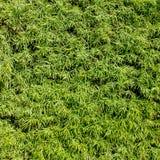 Groene gebladertemuur Stock Afbeeldingen