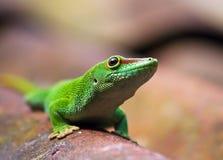 Groene gekko Royalty-vrije Stock Afbeeldingen